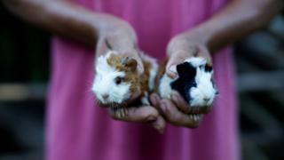 A farmer shows his newborn pet guinea pigs in Santo Domingo, Cuba
