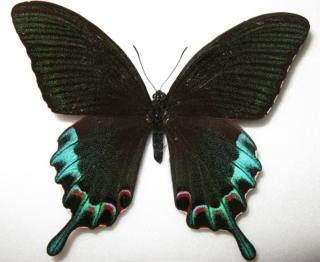 Picture of a Papilio Chikae butterfly (the Luzon peacock swallowtail)