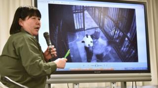 上野动物园教育普及课长金子美香子向媒体展示真真产后叼着幼崽的照片(12/6/2017)