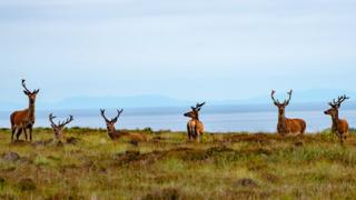 Morris Macleod spotted these six stags on the top of the ridge overlooking Newmarket on Lewis. A fine clear view with the Minch and the mainland hills in the far distance.