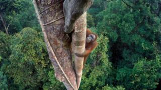 TIM LAMAN orangutan fotoğrafı