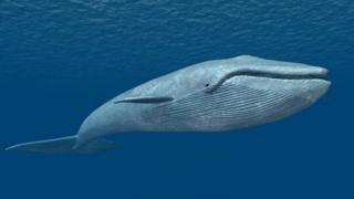బ్లూ వేల్ / Blue Whale