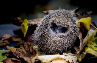 A hedgehog in leaves.