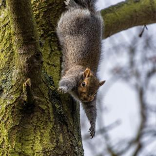 A stretching squirrel up a tree in a wood between Glinton and Peakirk in Cambridgeshire