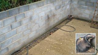 Badger in pool