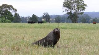 A New Zealand fur seal found in an cow paddock in rural New South Wales