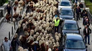 Flocks of sheep and goats are herded in the city centre of Madrid on October 20