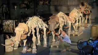 The mammoth skeletons