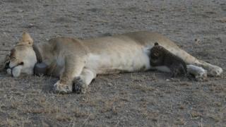Львица отдыхает, пока детеныш кормится ее молоком