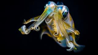 A bigfin reef squid (Sepioteuthis lessoniana) staring at the camera