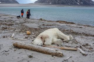 A polar bear after the shooting in Svalbard