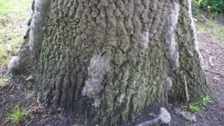 Oak Processionary Moth nest