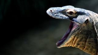 Genç bir Komodo ejderi