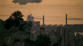 暮色中的巴巴里獼猴