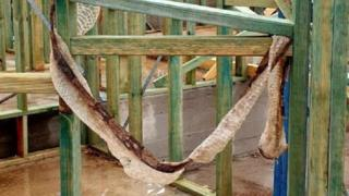 "The snake's ""freshly shed"" skin, which was found hanging from wooden planks at a building site in Sydney"