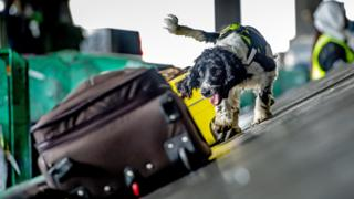A springer spaniel on a conveyor belt at Jomo Kenyatta International Airport sniffing luggage - Nairobi, Kenya