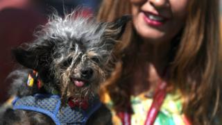 Scamp the Tramp, winner of the World's Ugliest Dog competition posing with his tongue slightly sticking out