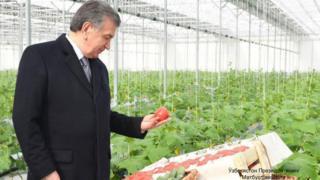 Президент Шавкат Мирзиёев иссиқхонада етиштирилган помидорларни кўздан кечирмоқда.