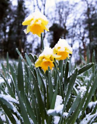 Snow covered daffodils in Liverpool.