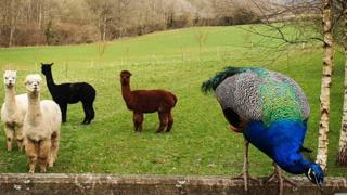 Alpacas and a peacock at Fair Oak Farm, Mayfield