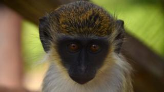 A green vervet monkey