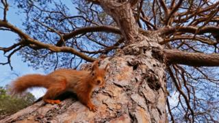 A red squirrel on a tree