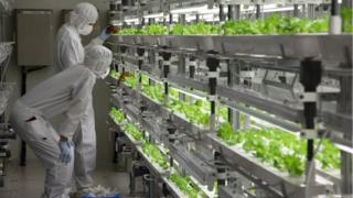 Scientists checking trays of hydroponic lettuces