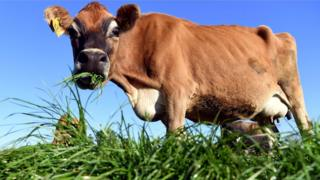 Cow eating grass on a dairy farm