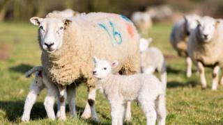 Sheep with lambs running around