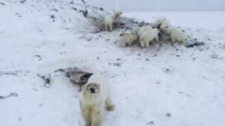A group of polar bears and cubs spotted near Ryrkaypiy