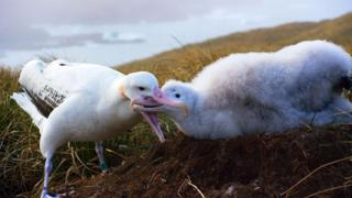 Wandering albatrosses scour the oceans for food to bring back to their chicks