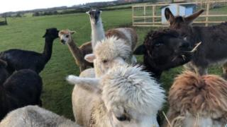 Larry with the alpaca flock