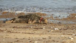 Seal at Horsey, Norfolk