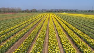 Aerial view of Norfolk tulip fields