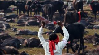 Man kills cattle at the Gadhimai festival in Bariyapur on (November 2014)