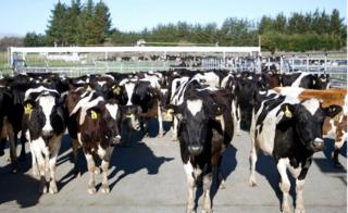 Cows stand in a pen before they are milked on a dairy farm near Carterton, New Zealand. 28 August 2015.