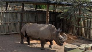 A male northern white rhino