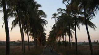 Coconut palms in Goa