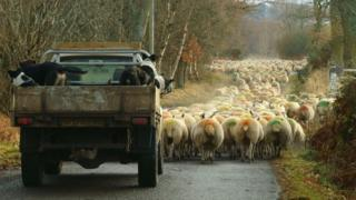Collies and sheep