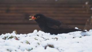 Bird berry picking