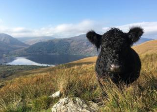 Cow on Ben Lomond