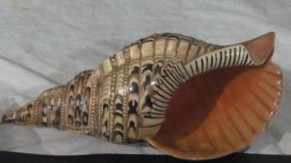 Right-handed conch shell