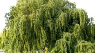 Willow (image: Oatsy40)