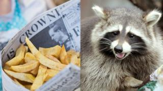 Chips wrapped in newspaper and a raccoon.