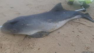 The porpoise found washed up dead on Sea Palling beach