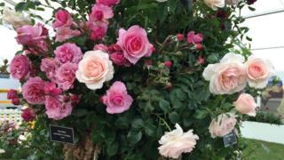 Троянд багато не буває