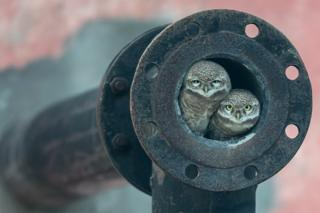 Owls in a pipe