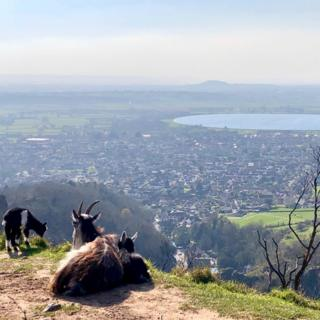 Feral goats enjoying the sun at Cheddar Gorge in Somerset