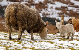 Sheep and lamb in the snow