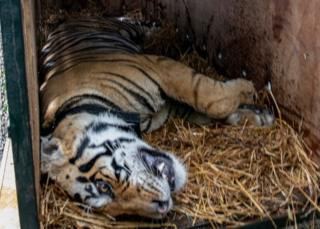 The tiger lies on a bed of dry grass insid   e the cage